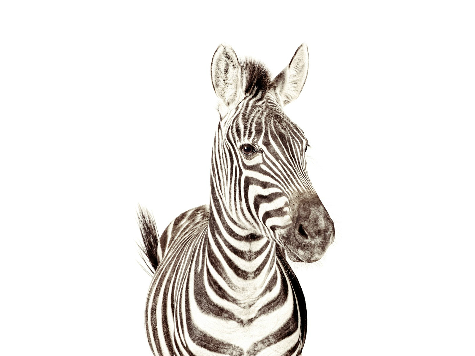 Kids - Groovy-Magnets-zebra-1-def